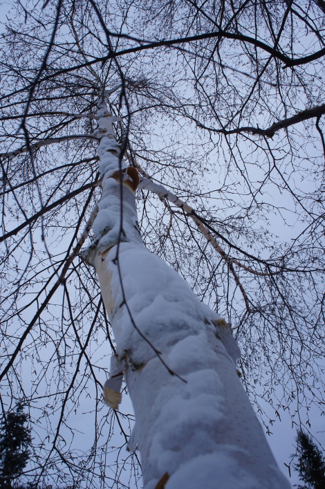 A snow covered Birch Tree